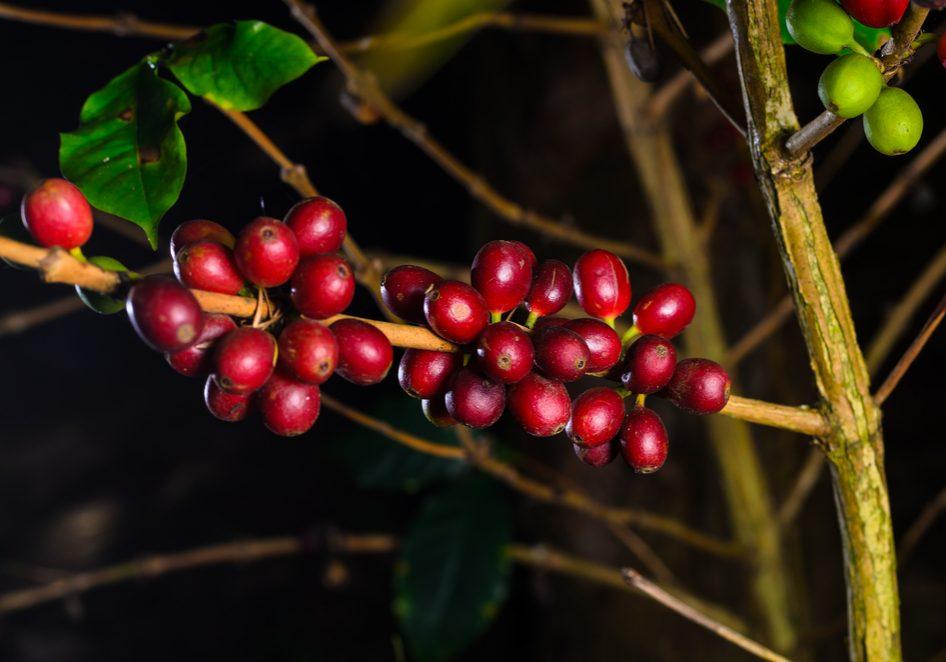 Кофе кона: гавайское сокровище